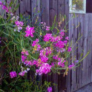 Staudenwicke (Lathyrus latifolius) Rosa PERLE