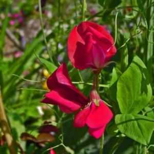 Staudenwicke (Lathyrus latifolius) Rote PERLE