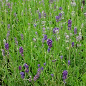 Lavendel (Lavandula angustifolia) Dunkle Hidcote