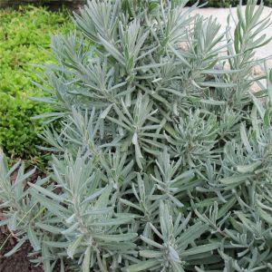 Echter Lavendel (Lavandula officinalis) Tasty Grosso