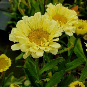 Großblumige Margerite (Leucanthemum x superbum) REAL Dream