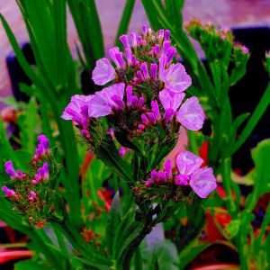 Meerlavendel (Limonium perezii) China Red®