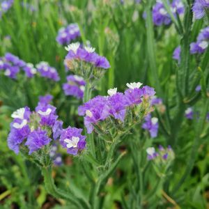 Meerlavendel (Limonium / Statice) Lilac Sun Birds®