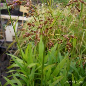 Waldmarbel (Luzula sylvatica )