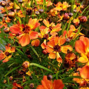Mädchenauge (Coreopsis hybrid ) Mango Punch