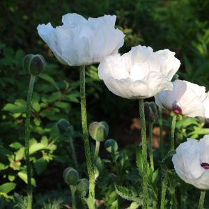 Türkischer Mohn (Papaver orientale) Royal Wedding