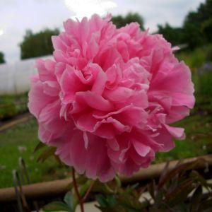 Pfingstrose (Paeonia lactiflora)Rosa