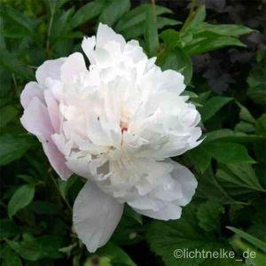 Pfingstrose (Paeonia lactiflora ) Weiß