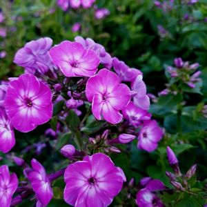 Flammenblume (Phlox paniculata) EARLY Purple Eye