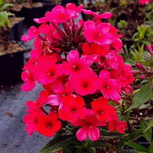 Flammenblume (Phlox paniculata) EARLY Red