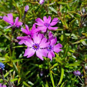 Polsterphlox (Phlox subulata) Purple Beauty