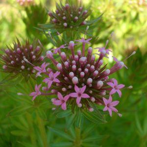Rosenwaldmeister (Phuopsis/Crucianella stylosa)