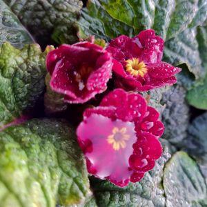 Bergprimel/Teppichprimel (Primula x pruhoniciana) WANDA Himbeerrote Töne