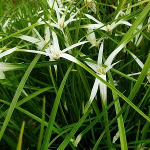 Weißes Schnabelried (Rhynchospora colorata) Sternentänzer