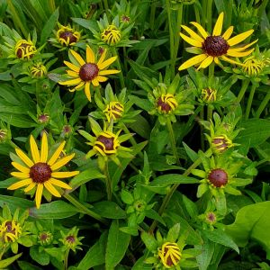 Sonnenhut (Rudbeckia fulgida) Little Goldstar