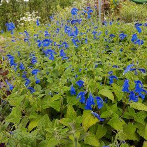 Azursalbei (Salvia patens) Patio Dark Blue