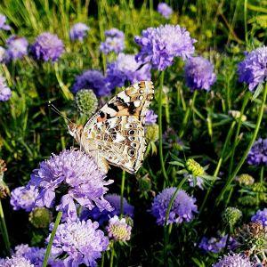 Berg-Skabiose (Scabiosa japonica) Blue Note