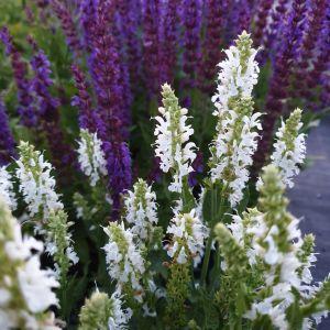 Salbei  (Salvia nemorosa) Schneehügel
