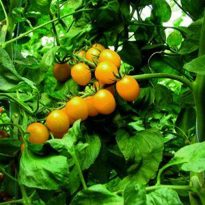 Cherry-Tomate (Solanum lycopersicum) Stargold