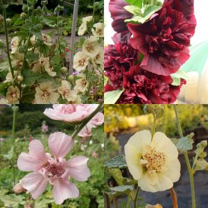 7 Pflanzen (großblumiger Malven Stockrosen SPEZIAL) Mix