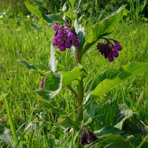 Beinwell (Symphytum officinale)