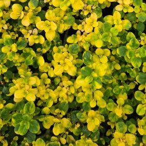 Zitronenthymian (Thymus x citriodorus) Doone Valley