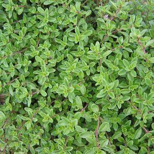Gewürzthymian (Thymus vulgaris)