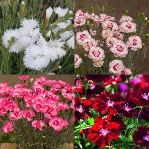 7 Vierländer Pflanzen (Bunte duftende Federnelken) Mix