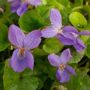 Duftveilchen (Viola odorata ) Königin Charlotte