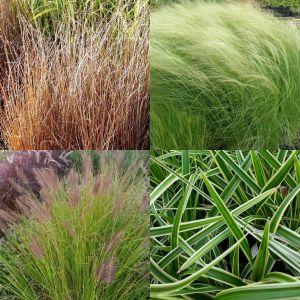 7 Pflanzen (Ziergras / Gräser M1) Mix