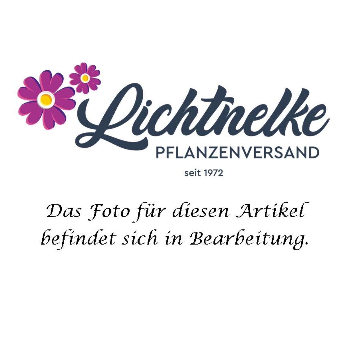 Stockrose (Alcea rosea) weiß / einfach
