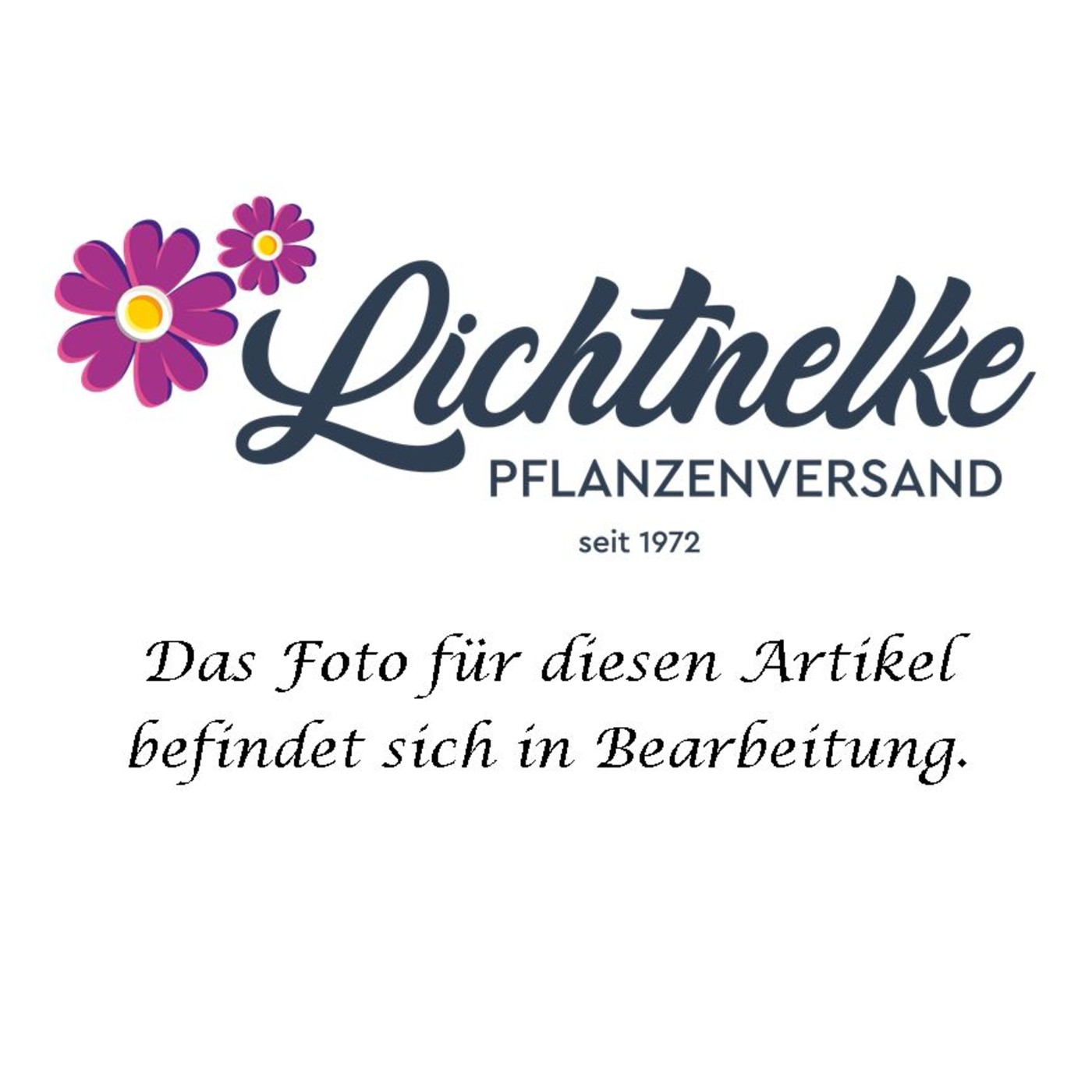 Heidenelke (Dianthus deltoides) Leuchtfunk