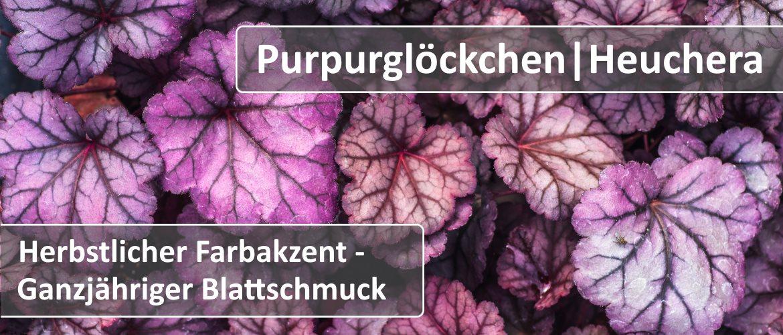 Purpurglöckchen|Heuchera