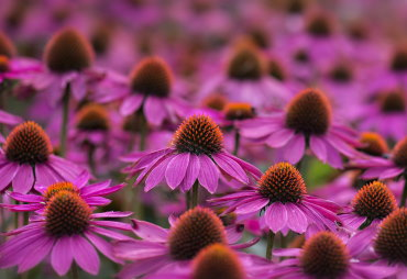 Sonnenhüte|Echinacea