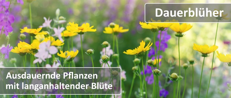 lichtnelke_dauerblueher_teaser_1170x500.jpg