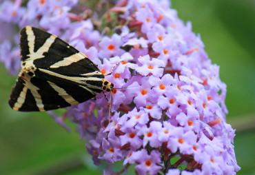 Schmetterlingsflieder|Buddleja