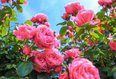 Rosen|Rosa