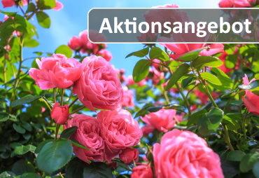 lichtnelke_rosen_aktion_370x254.jpg